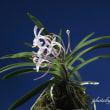 富貴蘭「紅鶴」の花