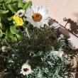 今日の庭の花たち