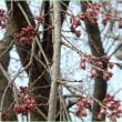枝垂れ桜♡まもなく