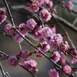 梅の花あちこち