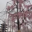 春の京都(初日) (E-M1)