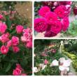 薔薇と着物