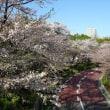 「ミッドタウンの桜」/六本木(2018春)