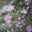 季節の花「孔雀草 (くじゃくそう)」
