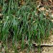 オオバジャノヒゲ 濃藍色の種子