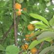 10数年ぶりに、杏の木に実がなった