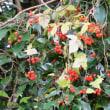 ヒヨドリジョウゴ(ナス科・ナス属)つる性多年草