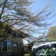 桜は3分咲き