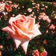 神代植物公園・バラフェスタ・バラのフォトです。