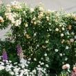 マイ・ガーデンの蔓バラの剪定&誘引