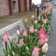 冬の早咲きチューリップ