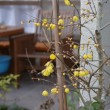 鉢植のロウバイ咲く