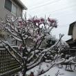 紅梅に雪が (2019年2月11日撮影)