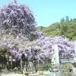 神光寺のぼり藤