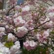 続・八重桜