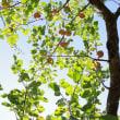 リンゴの木1