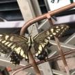 秋のアゲハチョウ