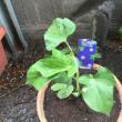 朝顔の苗を植えました
