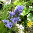 バビアナの花