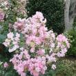 ピンク色した夏の花