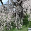 ベニシダレザクラ 福島郡山:三春滝桜