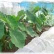 虫よけ網ハウスの人参と里芋とキャベツ