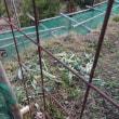 茎ブロッコリーネット外で