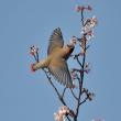 名残りの桜にヒレンジャク