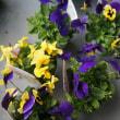 春のお花を求めに