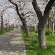 平成30年の大川の桜