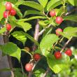 赤い実に熟したさくらんぼ(暖地桜桃)