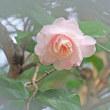 淡い桃色の八重山茶花