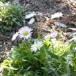ワスレナグサの花が