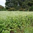 蕎麦の花。