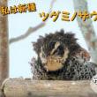 風にあおられたツグミ…私は新種・ツグミノザウルス(*^^)v
