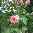 元気になりました。蔓バラのドリームウィーバー