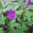 野に咲く小さな花33・アメリカフウロ