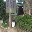 柳の木の下の看板ネコ。浅野川大橋詰め。