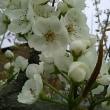 満開の梨の花3月18日