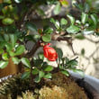 盆栽の紅長寿梅に梅の実が成りました