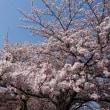 桜に間に合いました。