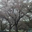 生きて桜が観れたNO2