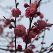赤の椿と紅白の梅の花