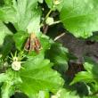 例のバラにアゲハチョウが雨やどりか