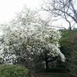 長居公園梅林と桜と