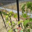 キウイを植えました。