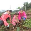 2017年10月14日(土) 落花生の収穫