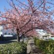 2018 河津桜咲いてます