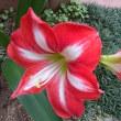 3年ぶりに咲いたアマリリス