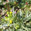 ノボロギク 野襤褸菊